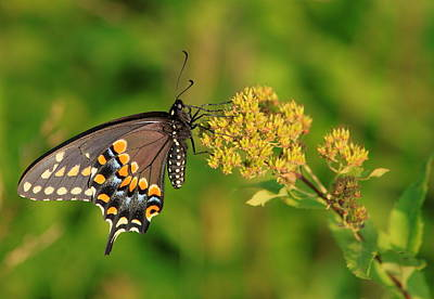 Photograph - Black Swallowtail Feeding by John Burk