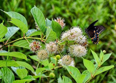 Photograph - Black Swallowtail by Linda Brown