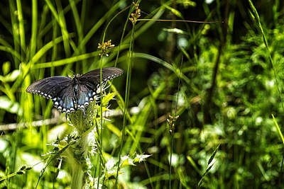 Photograph - Black Swallowtail No. 1 by Belinda Greb