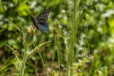 Photograph - Black Swallowtail No. 2 by Belinda Greb