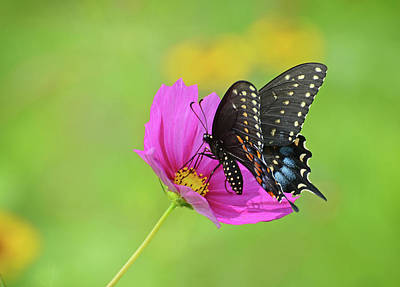 Photograph - Black Swallowtail On A Cosmos by Rodney Campbell