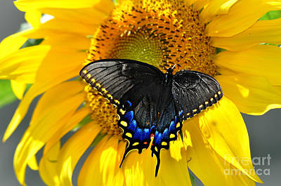 Photograph - Black Swallowtail On A Sunflower by Eric Liller