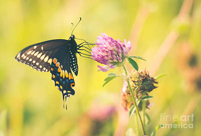 Photograph - Black Swallowtail On Clover by Cheryl Baxter