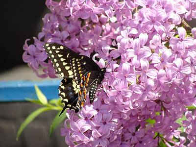 Photograph - Black Swallowtail On Lilacs by Anthony Seeker
