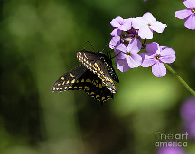 Photograph - Black Swallowtail On Phlox by Cheryl Baxter