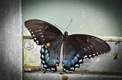 Insects Photograph - Black Swallowtail On Window by Artful Imagery