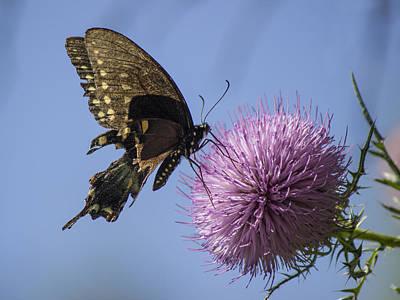 Photograph - Black Swallowtail by Ron Grafe