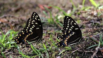 Photograph - Black Swallowtail Twins by Cynthia Guinn