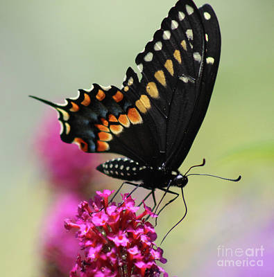 Photograph - Black Swallowtail Ventral View Square by Karen Adams