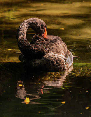 Wildlife Photograph - Black Swan 2 by Zina Stromberg