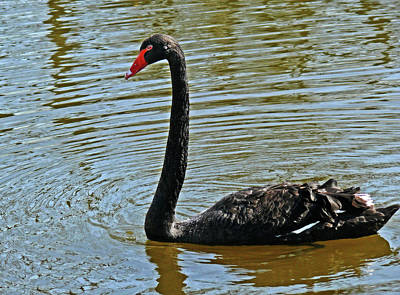 Photograph - Black Swan by Alex Galkin