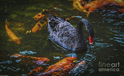 Photograph - Black Swan And Koi Fish by Mitch Shindelbower