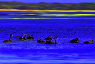 Photograph - Black Swan At Lake Wollumboula by Miroslava Jurcik