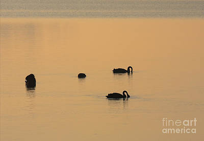 Swans Photograph - Black Swan Dawn by Mike Dawson