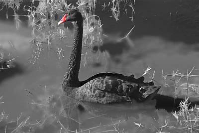 Cygnus Photograph - Black Swan by Donna Kennedy