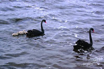 Black Swan Family Art Print