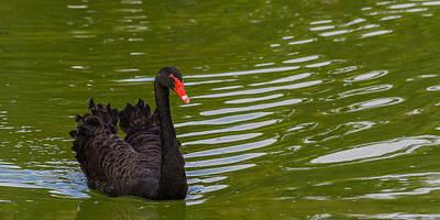 Photograph - Black Swan II by Ed Gleichman