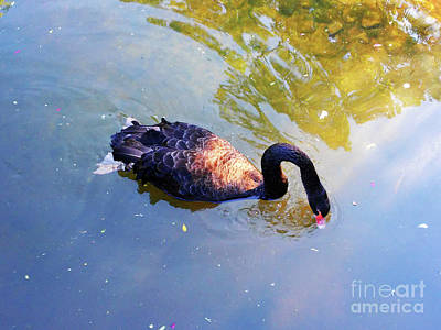 Photograph - Black Swan by Jasna Dragun