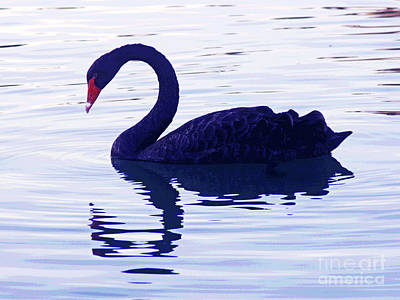 Photograph - Black Swan  by Larry Oskin