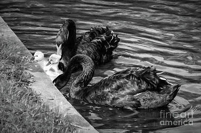 Photograph - Black Swans And Babies--charcoal by Kathleen K Parker