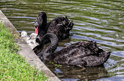 Photograph - Black Swans And Babies by Kathleen K Parker