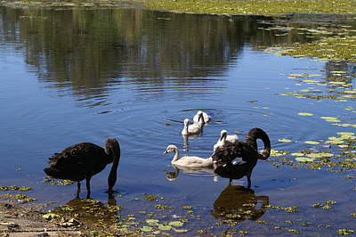 Realism Photograph - Black Swan's by Brian Leverton