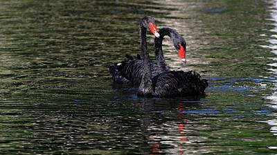 Furman Photograph - Black Swans by Carol Montoya