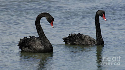 Photograph - Black Swans  Australia by Bob Christopher