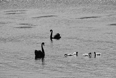 Photograph - Black Swans, Tasmania 2015 by Rolf Ashby