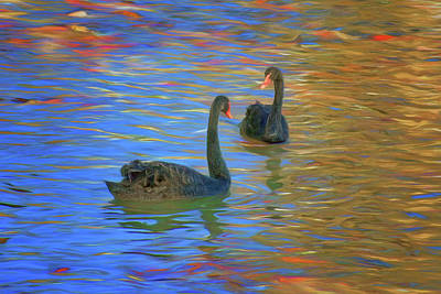 Photograph - Black Swans - Swimming by Nikolyn McDonald