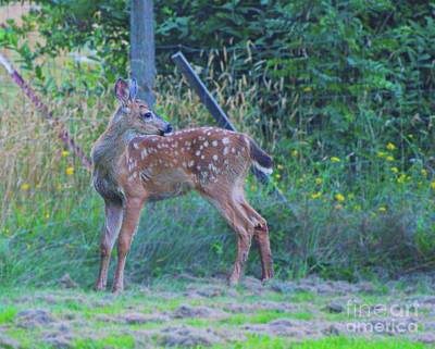 Photograph - Black-tail Deer Fawn 2 by Ansel Price