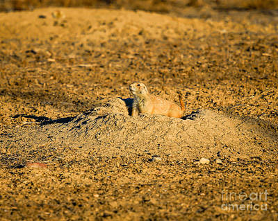 Photograph - Black Tail Prairie Dog by Jon Burch Photography