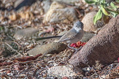 Photograph - Black-tailed Gnatchater On Ground by Dan McManus