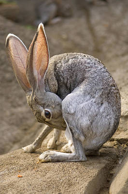 Henry Doorly Zoo Photograph - Black-tailed Jackrabbit Lepus by Joel Sartore
