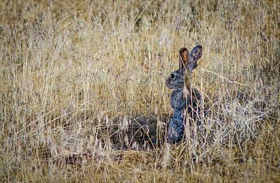 Desert Jackrabbit Photograph - Black Tailed Jackrabbit  by Rick Mosher