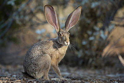 Photograph - Black-tailed Jackrabbit by Sue Cullumber