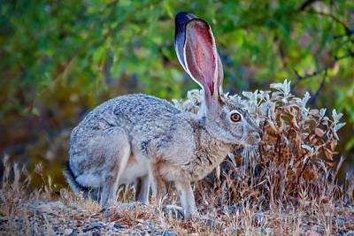Desert Jackrabbit Photograph - Black-tailed Jackrabbit by Tamera Wohlever