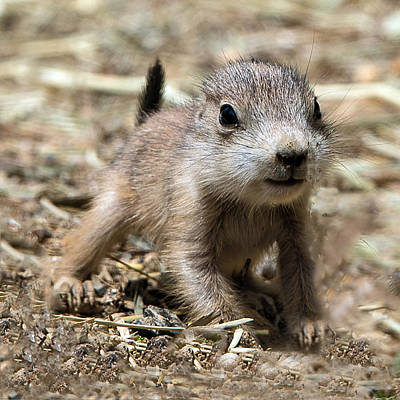 Photograph - Black Tailed Prairie Dog Pup by William Bitman