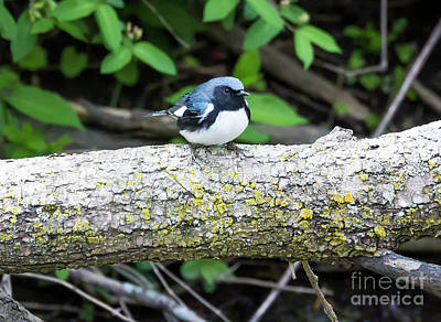 Photograph - Black-throated Blue Warbler by Ricky L Jones