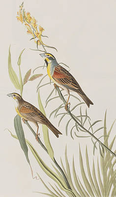Bunting Painting - Black-throated Bunting by John James Audubon