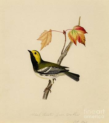 Falconry Painting - Black Throated Green Warbler by Celestial Images