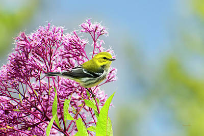Warbler Photograph - Black Throated Green Warbler by Christina Rollo