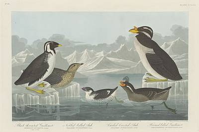 Seagull Drawing - Black-throated Guillemot And Nobbed-billed Auk And Curled-crested Auk And Horned-billed Guillemot by Dreyer Wildlife Print Collections