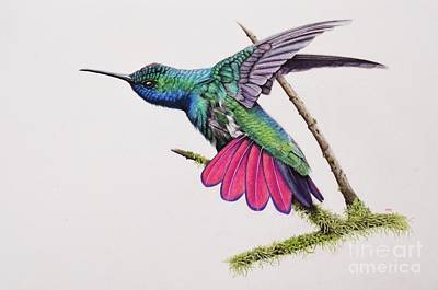 Mango Drawing - Black Throated Mango Hummingbird by Biophilic Art