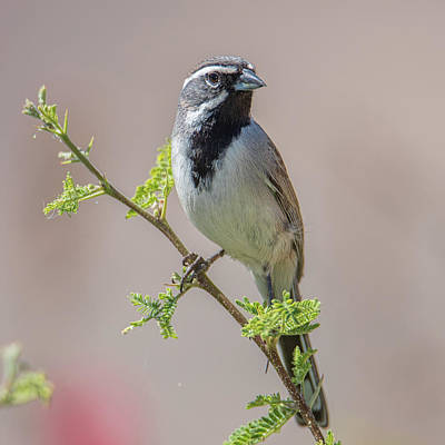 Photograph - Black-throated Sparrow by Dan McManus