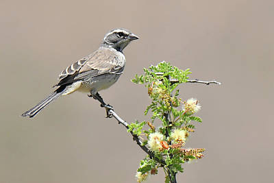 Photograph - Black-throated Sparrow Female by Alan Lenk