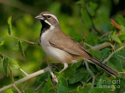 Photograph - Black-throated Sparrow by Myrna Bradshaw