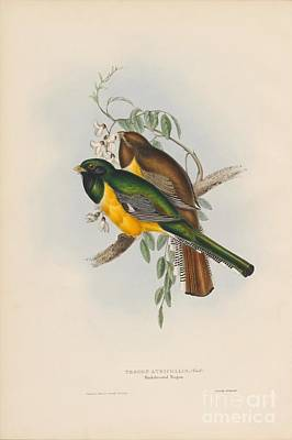 Painting - Black-throated Trogon by Celestial Images