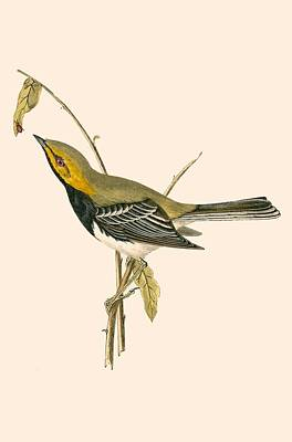 Beetle Drawing - Black Throated Warbler by English School