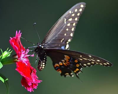 Black Tiger Swallowtail Art Print